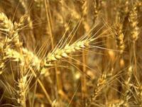 Зерновые являются основными продуктами в сельском хозяйстве.