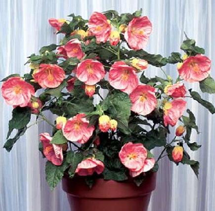 Комнатные цветы.  Масстер класс по посадке семян.  Размножение абутилона (комнатного клена) семенами.