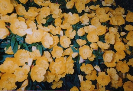 Энотера жёлтая