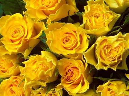 Чайные розы Аврора