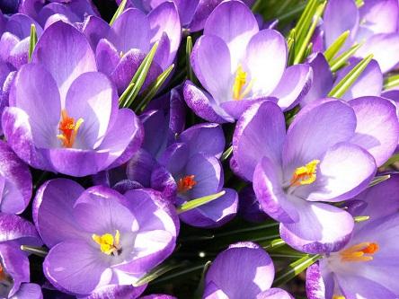 Весеннее чудо- крокусы