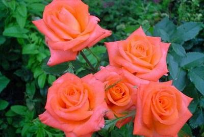 Роза сорта Pareo.