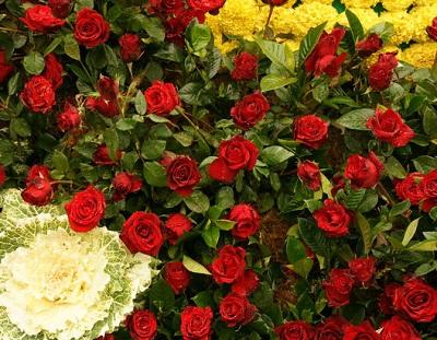 Карликовая роза
