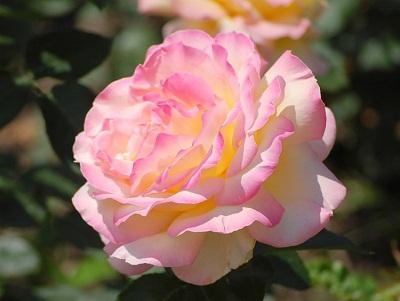 Сорта роз фото и описание