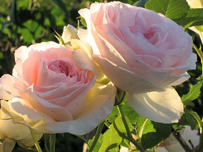 Основные советы по уходу за комнатными розами