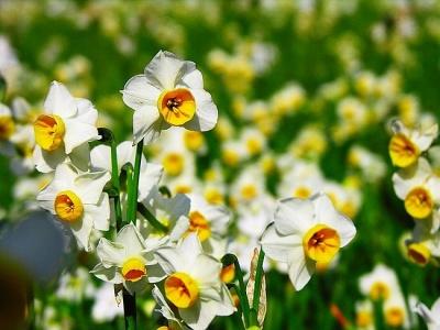 Нарцисс - один из самых красивых декоративных цветков.