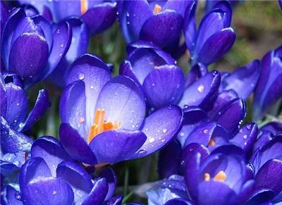 Крокус – это прекрасный нежный весенний цветок