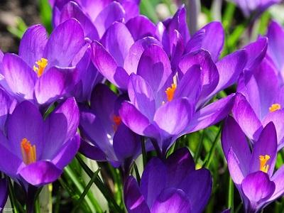Крокусы красивые цветы весны.