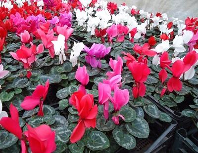 Комнатные цветы оптом от производителя.