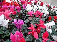 Цикломены и другие цветы оптом недорого.