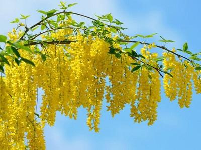 Акация желтая – описание цветка