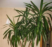 Комнатное растение «Драцена большая»