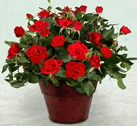 Подаренная роза в комнатном горшке.