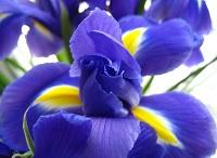 Описание цветов. Ирисы