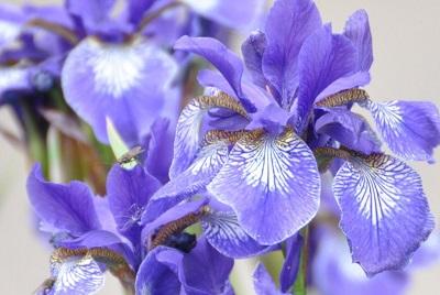 Ирисы – очень красивые и прекрасно пахнущие цветы