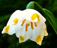Описание цветка Белоцветник