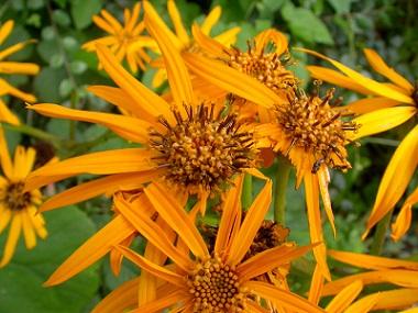 Цветы Бузульник, лигулярия.