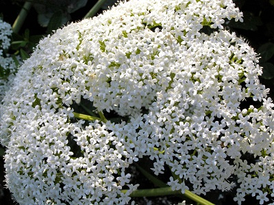 Цветы Валериана.