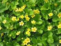 Цветы Вальдштейния.