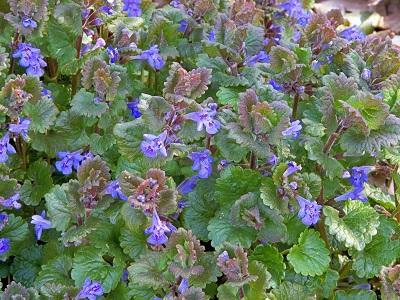 Цветы Бубенчик, Аденофора.