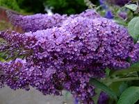 Цветы Буддлея: выращивание и размножение
