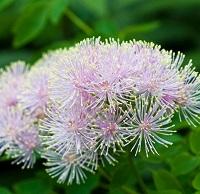 Василистник невероятно красивое растение, с удивительно ярким цветением. Его цвета бывают, от нежно розового, до лилового цвета, его цветки разнообразны, их лепестки могут быть стрелочными или округлыми. Многие разновидности Василистника растут на высоком стебле, и имеют пышную шапочку из множества лепестков, а такие, как лютиковые напротив, невысокие, но с крупными цветками. Их большое отличие это стебель и листы, ведь Василистник достигает в высоту 180 см., и до 220 см., а такие как лютиковые, или разделенные от куста до 20см! Василистник, можно назвать одним из самых невероятных цветов среди его конкурентов, и все семейство. Говоря об общих чертах в посадке Василистника, стоит отметить его неприхотливость, он отлично растет на солнце, и в тени, но при этом нужно понимать, что не на пустыре! Естественно, лучше всего сажать его в тех местах, где умеренное попадание лучей за весь день. Корни в 92% разновидностей у Василистника, имеют вьющееся прорастание вглубь земли. Что делает их устойчивость и крепость сильнее. Они морозов не боятся. Для посадки этих чудесных цветов, нельзя, выбирать участки, на которых почва загрязнена или имеет неблагоприятные осадки. Иначе цветы не приживутся, они любят только чистую, ухоженную зону, где мягкая, рыхлая и добротная земля. Удобренная почва, особенно любима Василистниками! Яркое, необычайно прекрасное цветение этих цветов, будут радовать долгое время, всех домочадцев! Не зря эти цветы, служат оценкой садоводу, уж с давних пор, считается, каков Василистник в саду, таков и его обладатель! Крупные грозди цветов Василистника смотрятся невероятно красиво, особенно если они посажены большим, пышным кустом, и подвязаны красивой ленточкой. Делается это для того, что бы длинные стебли под весом «созревших» гроздей цветов не наклонялись к земле, не ломались и не рассыпались в разные стороны. Ведь одно соцветие может превышать 30-42 см., в окружности. Когда цветы подвязаны, выглядит такой куст, как огромный букет! Благодаря необычным цветам