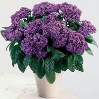 Цветы гелиотроп