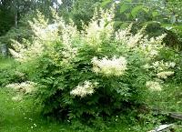 Цветы Волжанка