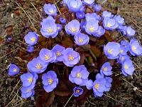 Цветы Джефферсония